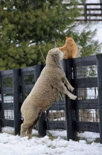 cat petting sheep