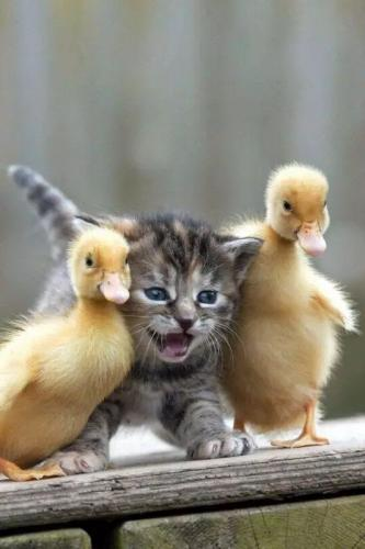 kitty and ducklings